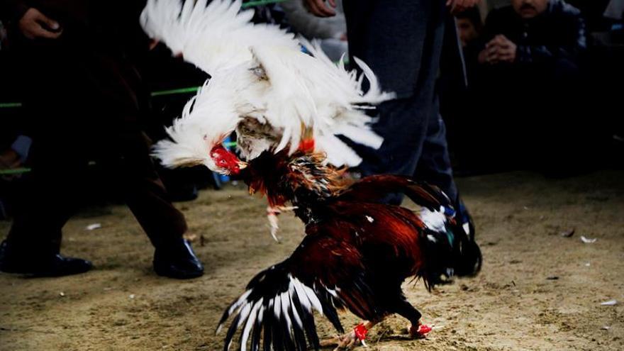 Trece detenidos por peleas clandestinas de gallos en Tordesillas (Valladolid)