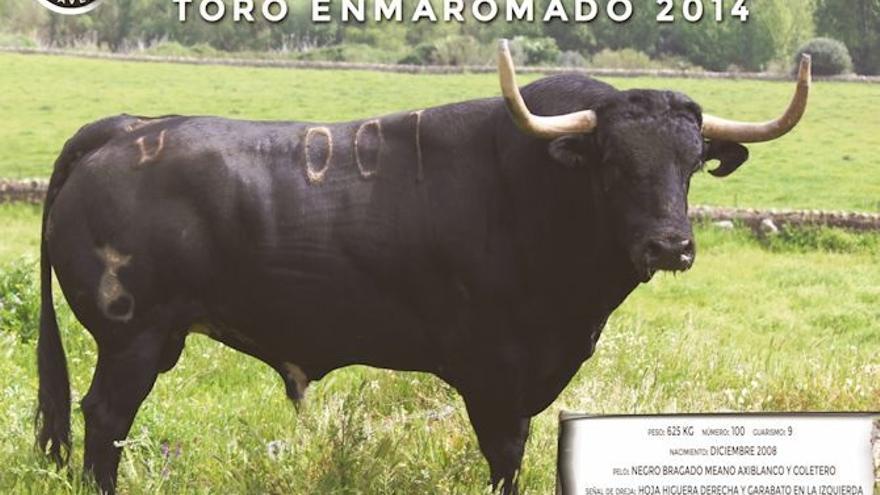 Bonarillo, toro enmaromado en Benavante (Zamora)