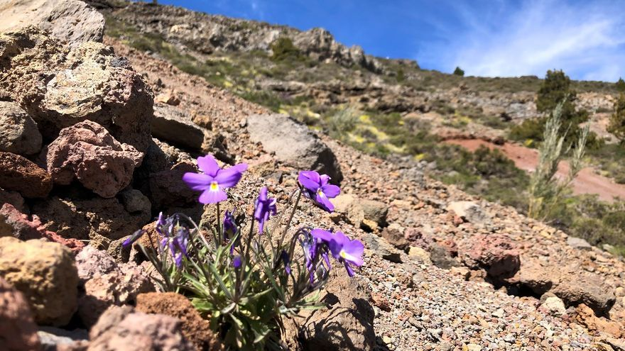 Violeta o pensamiento de las cumbres. Desde finales de abril las plantas de cumbres están floreciendo en La Palma.