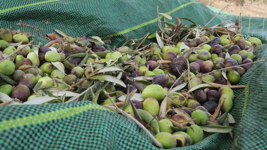 Muchas familias palestinas solo pueden acceder a sus olivos durante una semana del año para la recolecta.