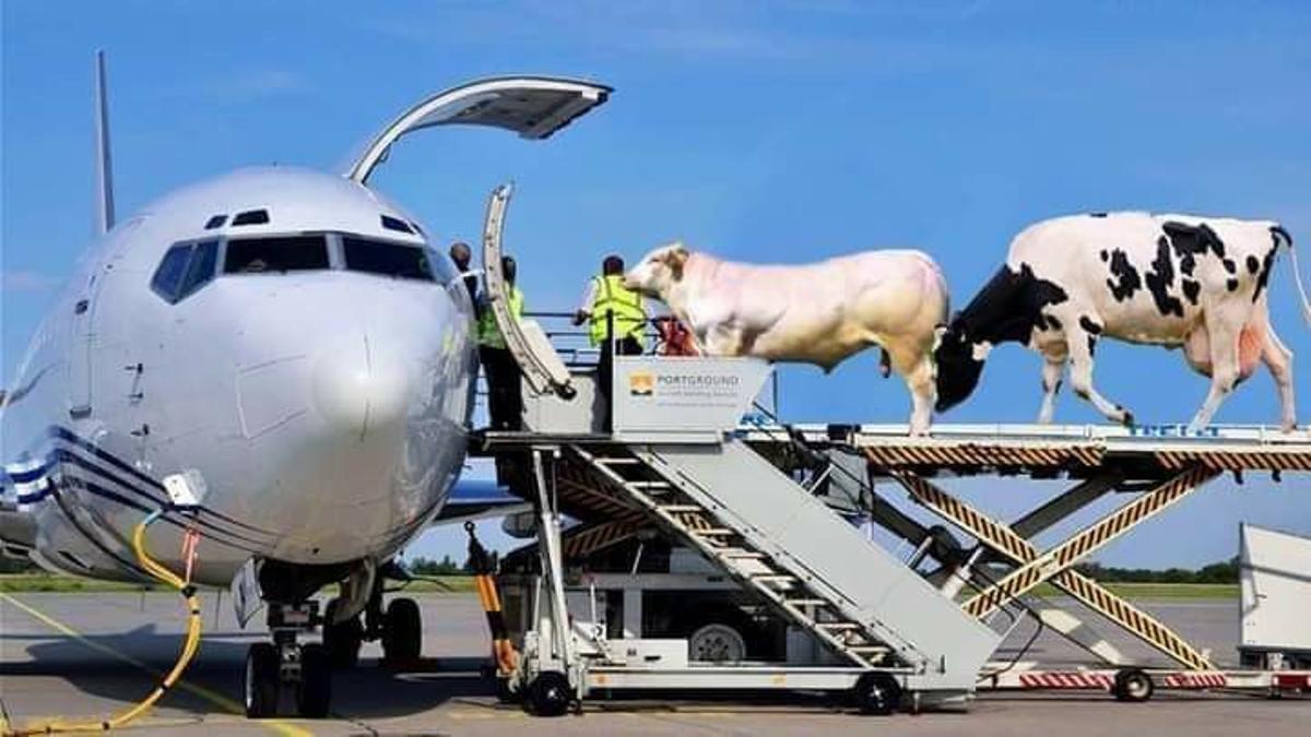 A las vacas se les termina la cuarentena