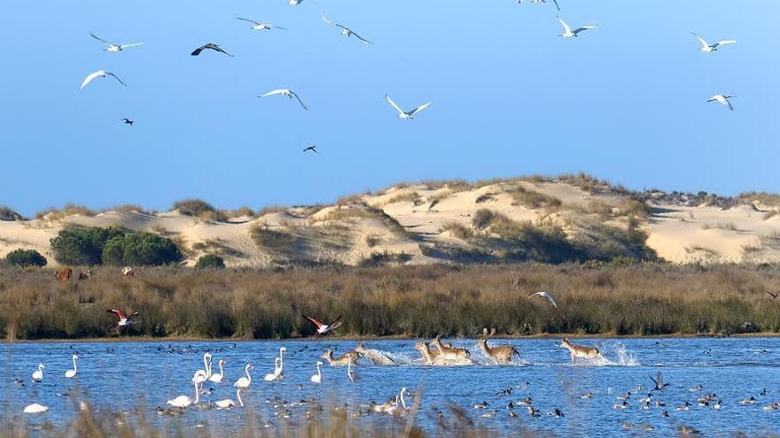 Ciervos cruzando la laguna Santa Olalla, rodeados por flamencos. Laguna permanente.