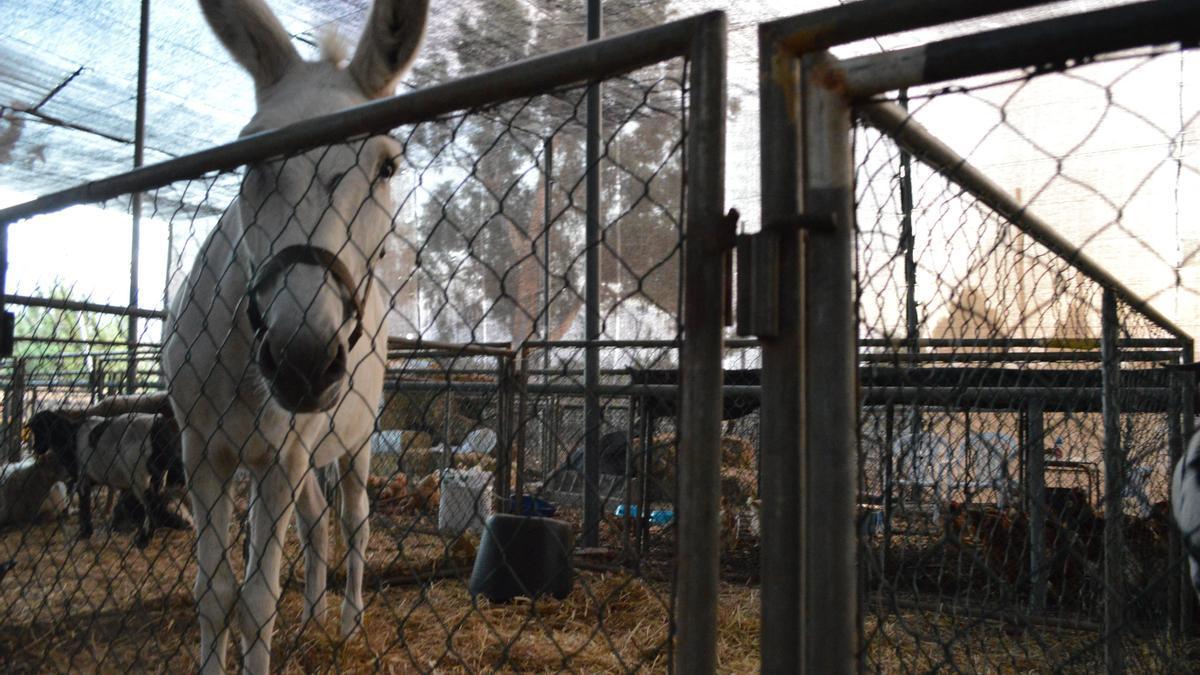 Un burro y otros animales en el albergue habilitado en el Recinto Ferial de El Paso.