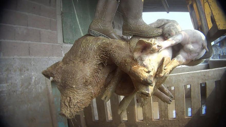 Brutalidad y nefastas condiciones sanitarias en granjas de cerdos en el norte de Italia, documentadas por Igualdad Animal