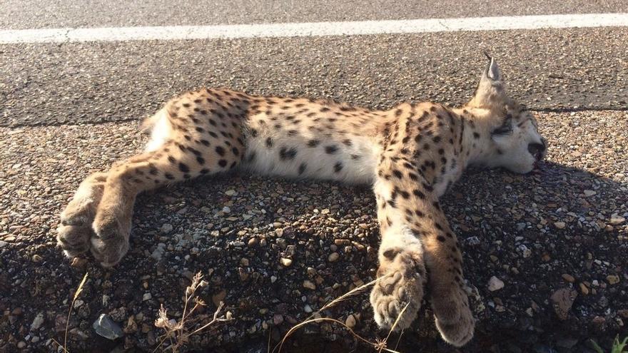 Muere un lince atropellado en la carretera N-442 en Mazagón