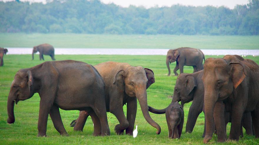 En el Parque Nacional Kaudulla puedes ver más de cien elefantes pasando las tardes junto al lago.