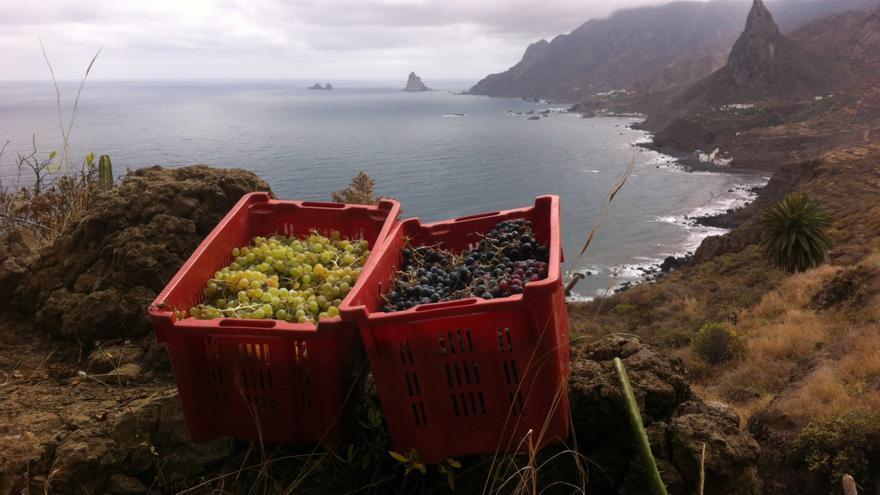 Uvas recolectadas en el macizo antiguo de Anaga, en Tenerife