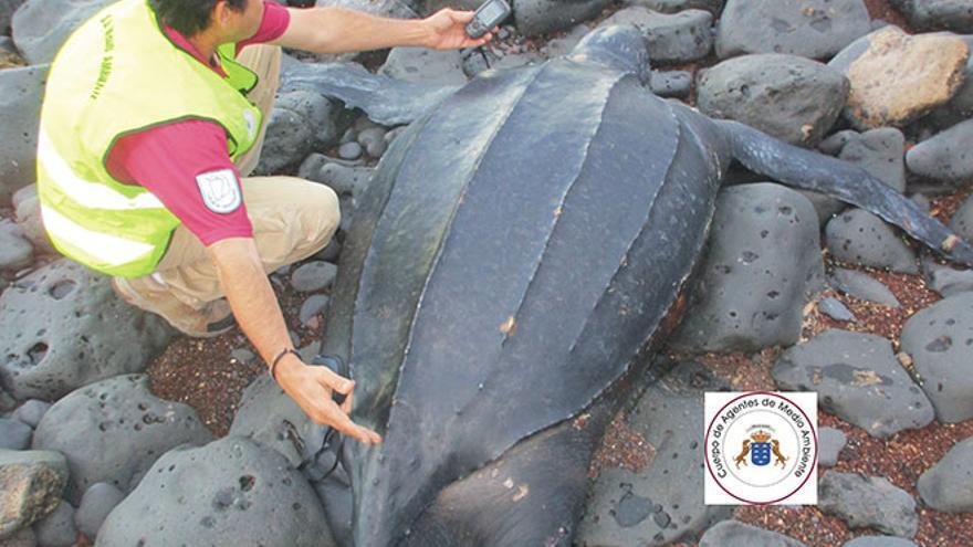 Localizada una tortuga laúd muerta en la playa de El Chinchorro, en La Oliva
