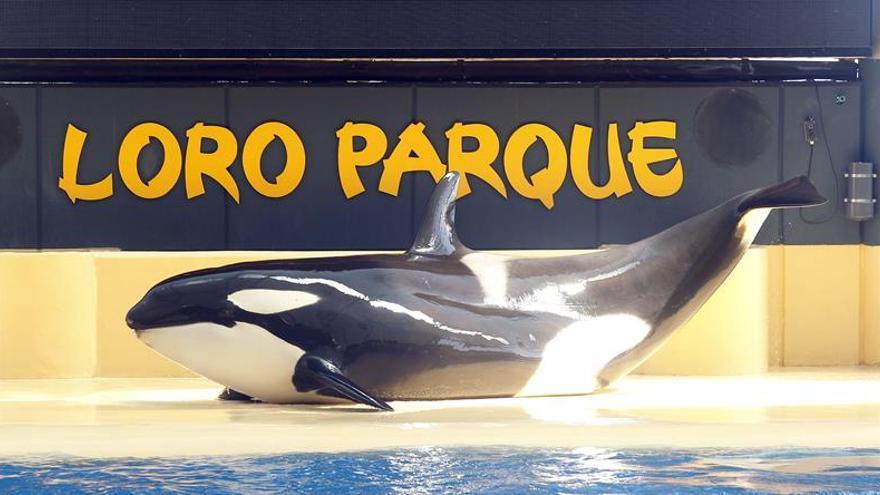 Loro Parque acuerda con Sea World que las orcas sigan en sus instalaciones