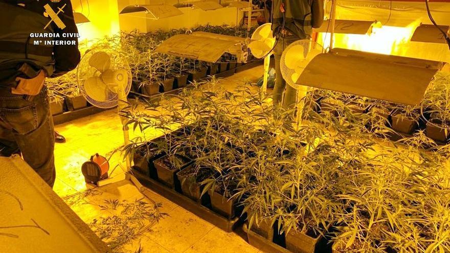 Desmantelan una instalación para 500 plantas de marihuana en Ampuero y detienen a dos personas