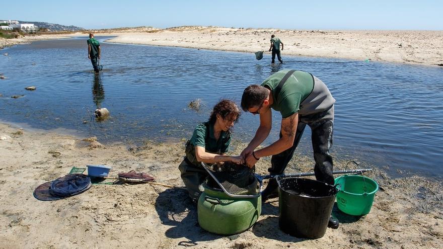 Medio Ambiente rescata 1.800 anguilas en peligro de asfixia en el río Cachón