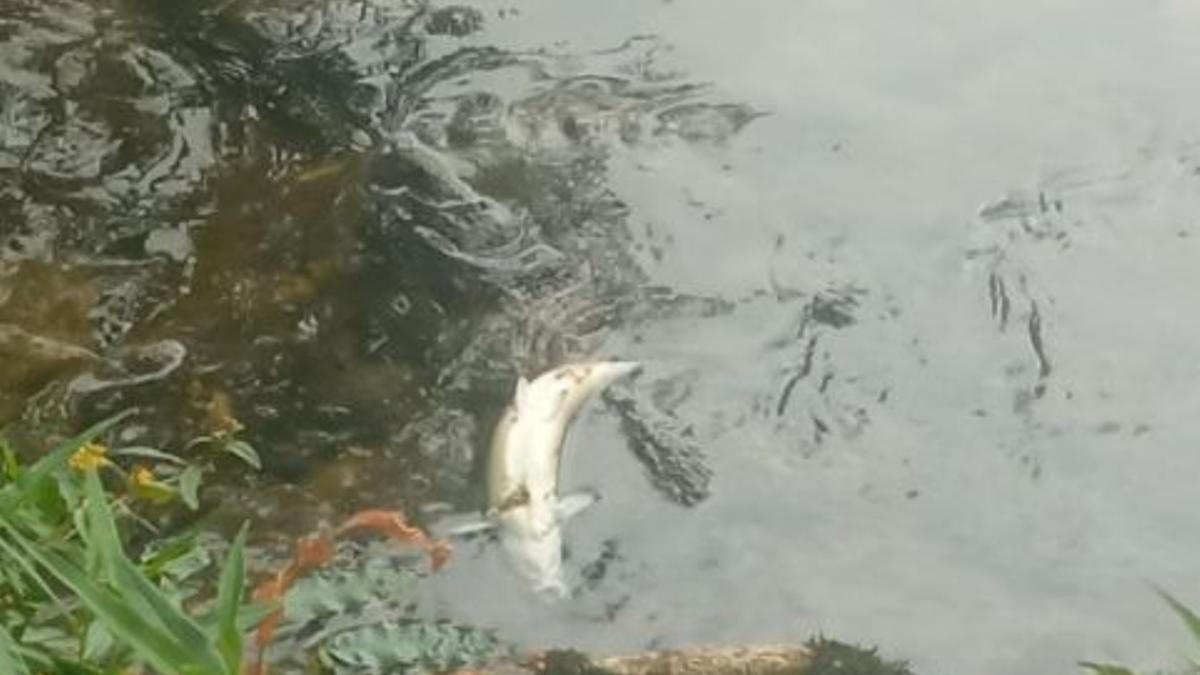 Un pez muerto en el río Zadorra