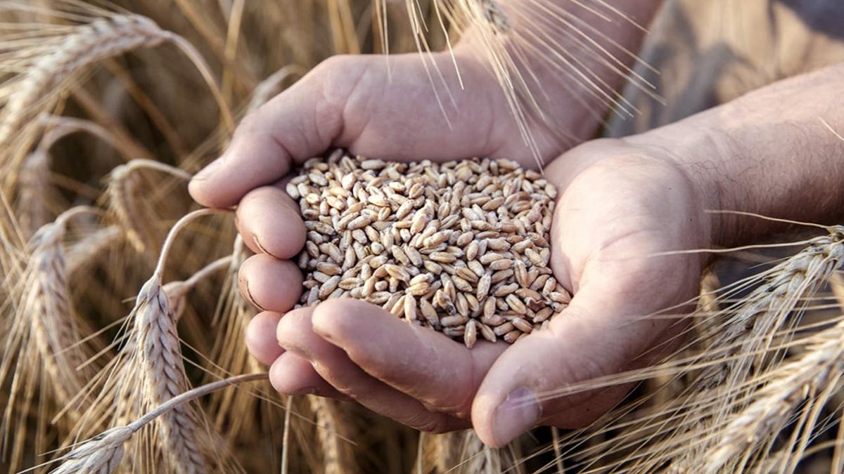 Los exportadores ya habían anticipado en abril la compra de 2,6 millones de toneladas del trigo que recién se va a cosechar el verano que viene.