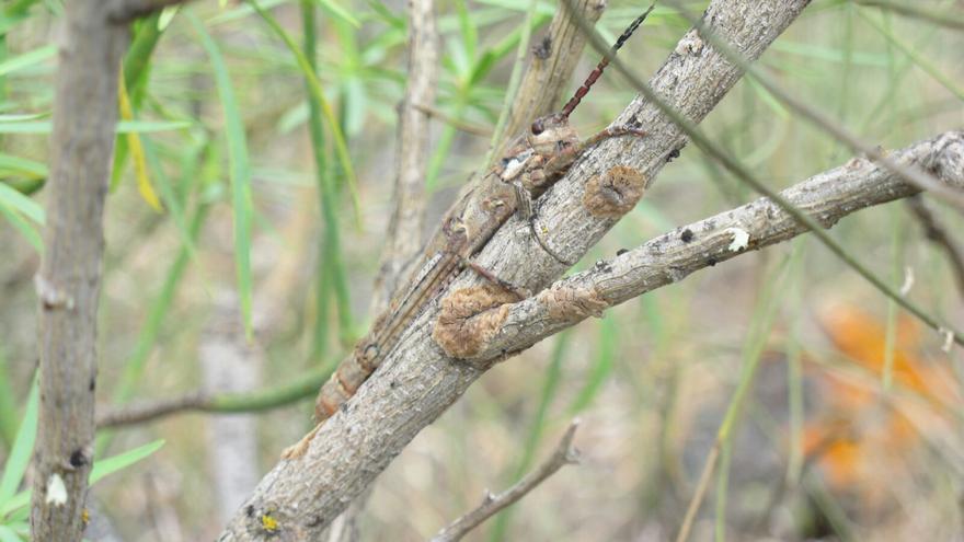 El saltamontes endémico, en la imagen, se encuentra en peligro de extinción.