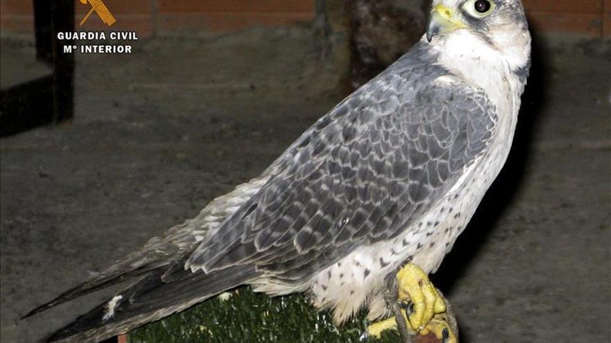Denunciado un hombre cuando cazaba de forma furtiva con un halcón adiestrado