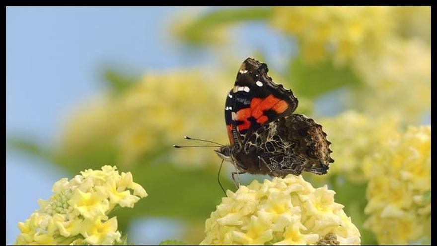 """Las mariposas españolas """"cambian de nombre"""" para acercarse al público"""