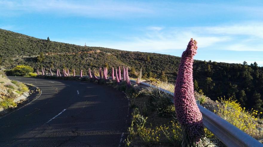 Tajinastes rosados, en fila, al borde de la carretera de acceso al Observatorio del Roque de Los Muchachos.+