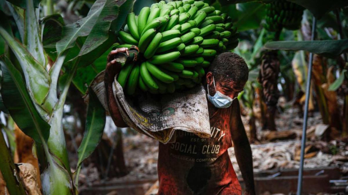 Recogida de plátanos en La Palma en cultivos afectados por ceniza volcánica.
