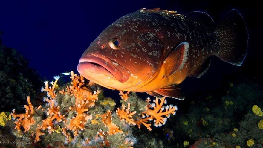 Un ejemplar de mero sobre un coral 'Dendrophyllia' en La Concepción
