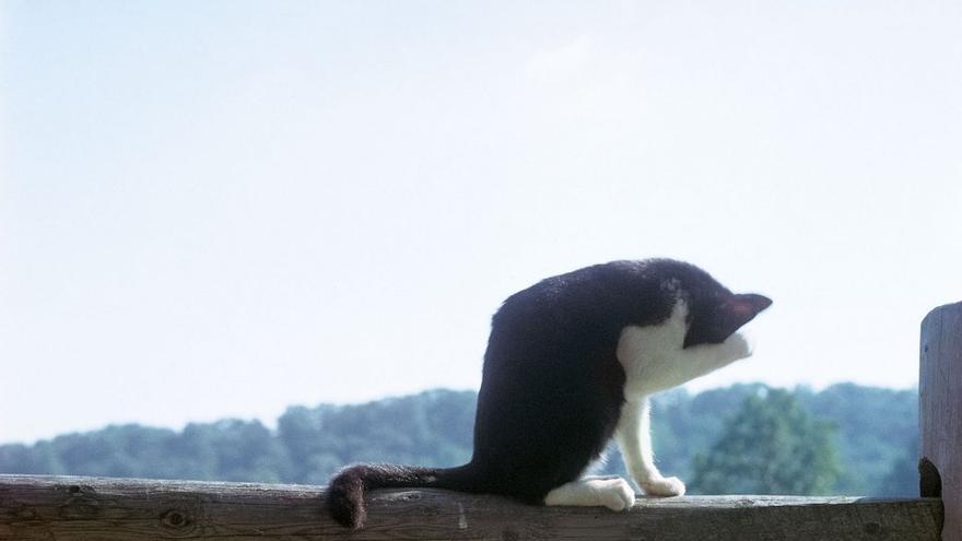 Quizás uno de los mayores atributos de Chandoha fue su habilidad para pasar desapercibido entre sus amigos felinos, como con este trío. Nueva Jersey, 1982.