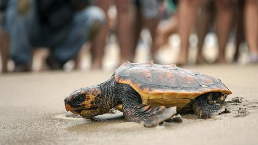 El Gobierno promueve la protección de las tortugas y sus anidaciones