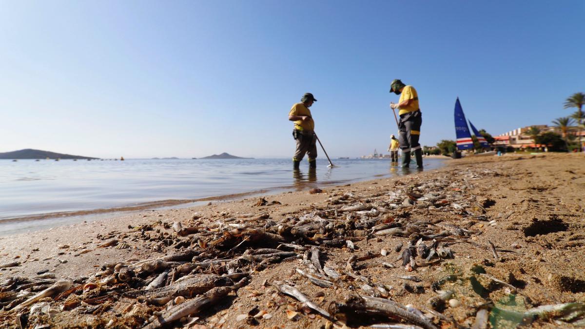 Operarios retiran del mar peces muertos en la orilla del Mar Menor, en Murcia