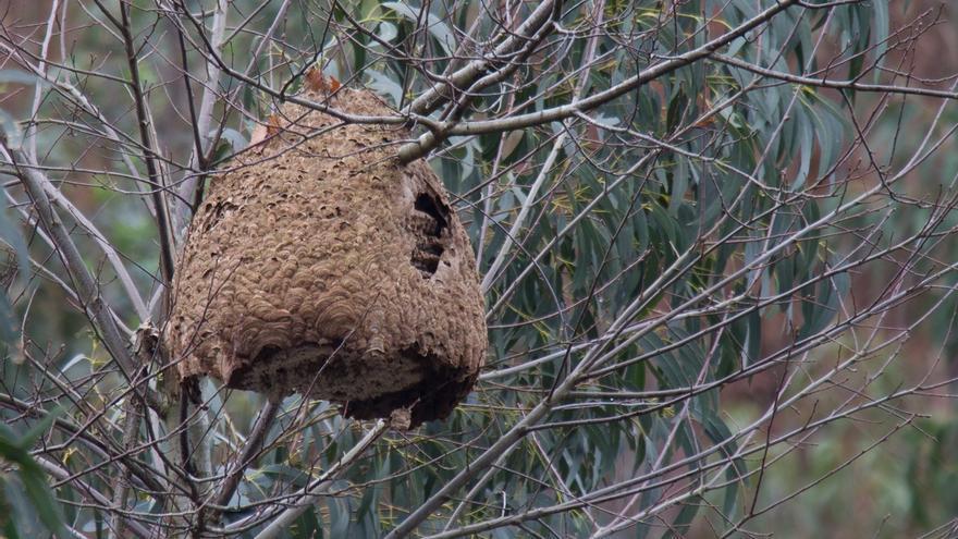 Oria: Es posible que se tenga que convivir en Cantabria con la avispa asiática