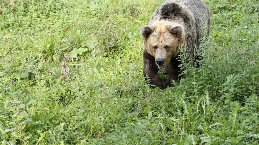 Asturias pone en marcha un programa de geolocalización de osos pardos