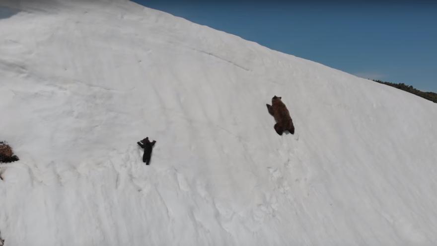 Osos huyendo de un dron