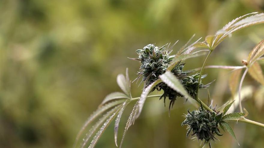 El Gobierno colombiano expide un decreto para el uso médico y científico de la marihuana