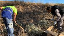 Trabajos de eliminación de chumberas en Andorra (Teruel).