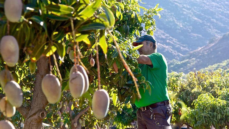 Producción agrícola de Mangas, en el interior del barranco de Veneguera. (Canarias Ahora).