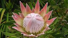 Flor de protea.