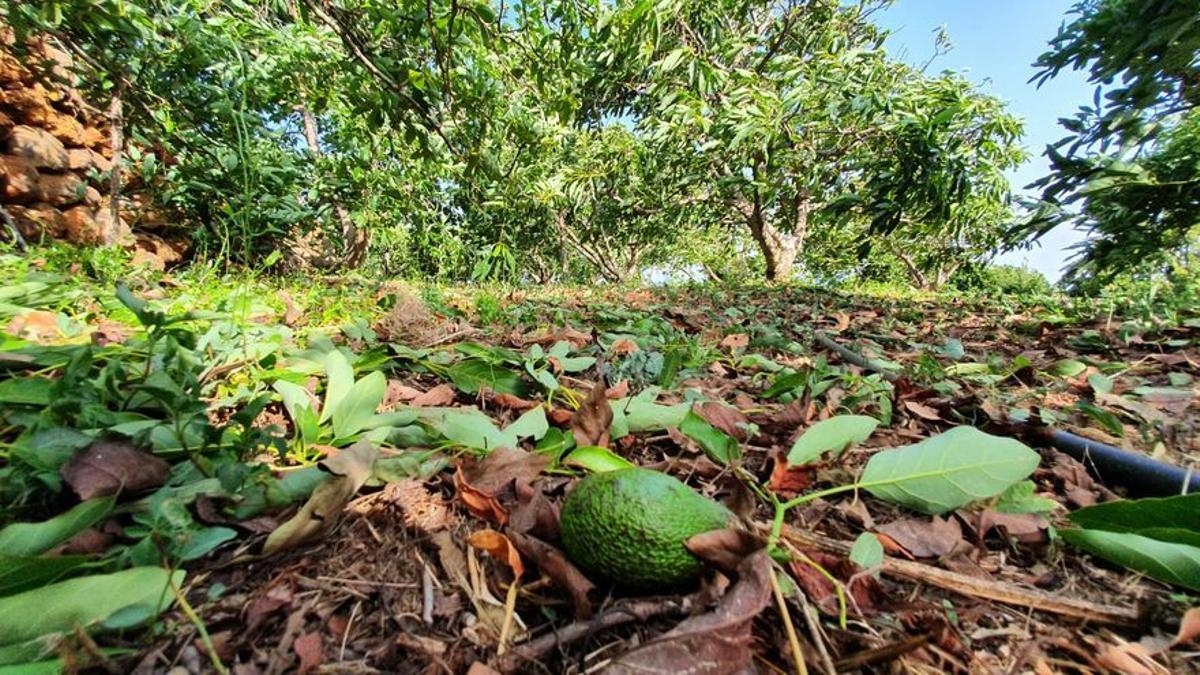 Destrozo de cultivos de aguacates en Puntagorda por el fuerte viento registrado el pasado 17 de agosto.