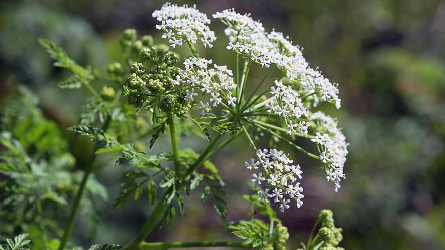 Planta de cicuta, el veneno más antiguo de la historia.