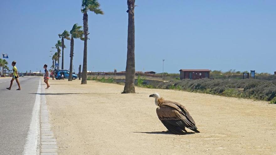 Foto: Buitre leonado en la playa de San Fernando (Cádiz) ©Juan Varela