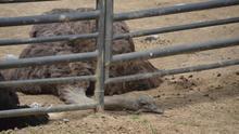 Avestruz cautiva en el Zoo de Barcelona