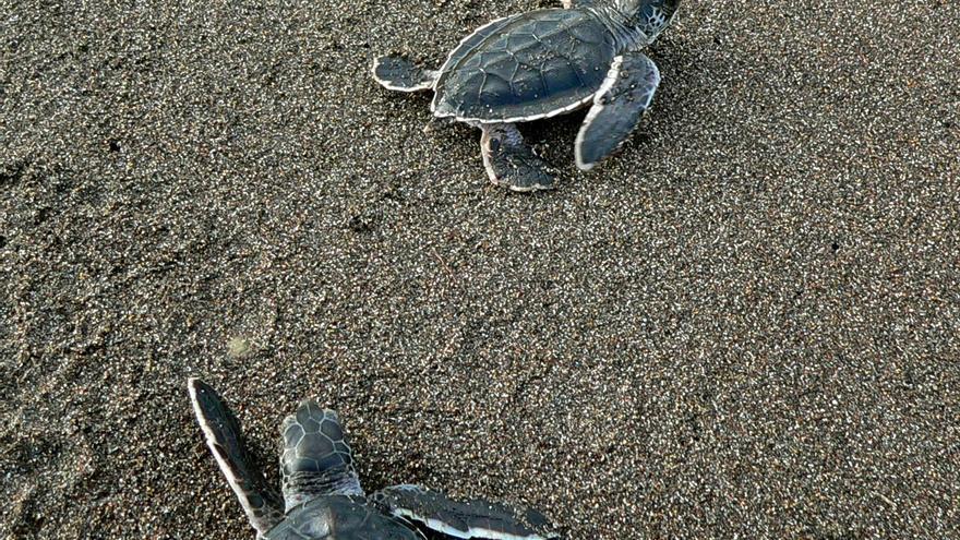 Tortuguinos recién nacidos en el Parque Nacional Tortugueros. Bernard Dupont