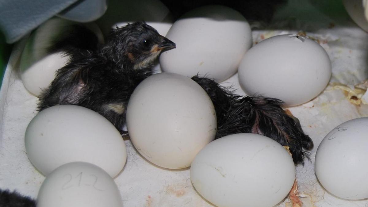 Cría de gallina negra