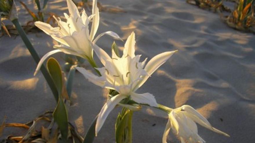 El 'Pancratium maritimum' es propio de las dunas costeras