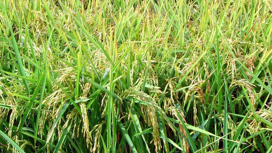 UPA exige a Agricultura que la UE investigue las importaciones de arroz de Camboya y Birmania
