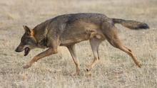 La Justicia decide si una montería de jabalíes se convirtió en caza furtiva de lobos en plena zona de protección legal