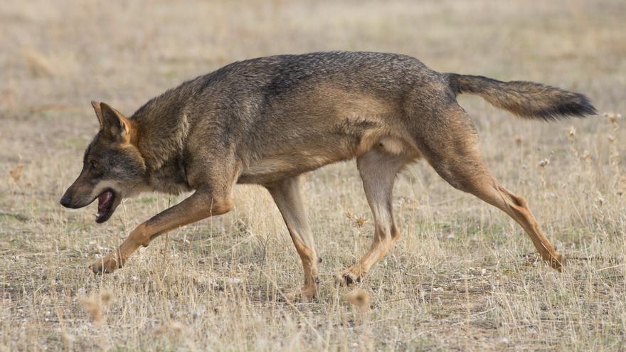 Ejemplar de lobo ibérico ('Canis lupus signatus').