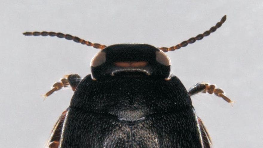 Hydorpurus sabaudus sierranevadensis.