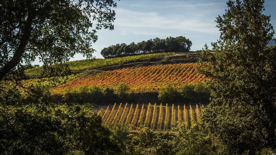La Casa del Vino de Álava recomienda extremar el cuidado de los viñedos ante la persistencia del brote de mildiu