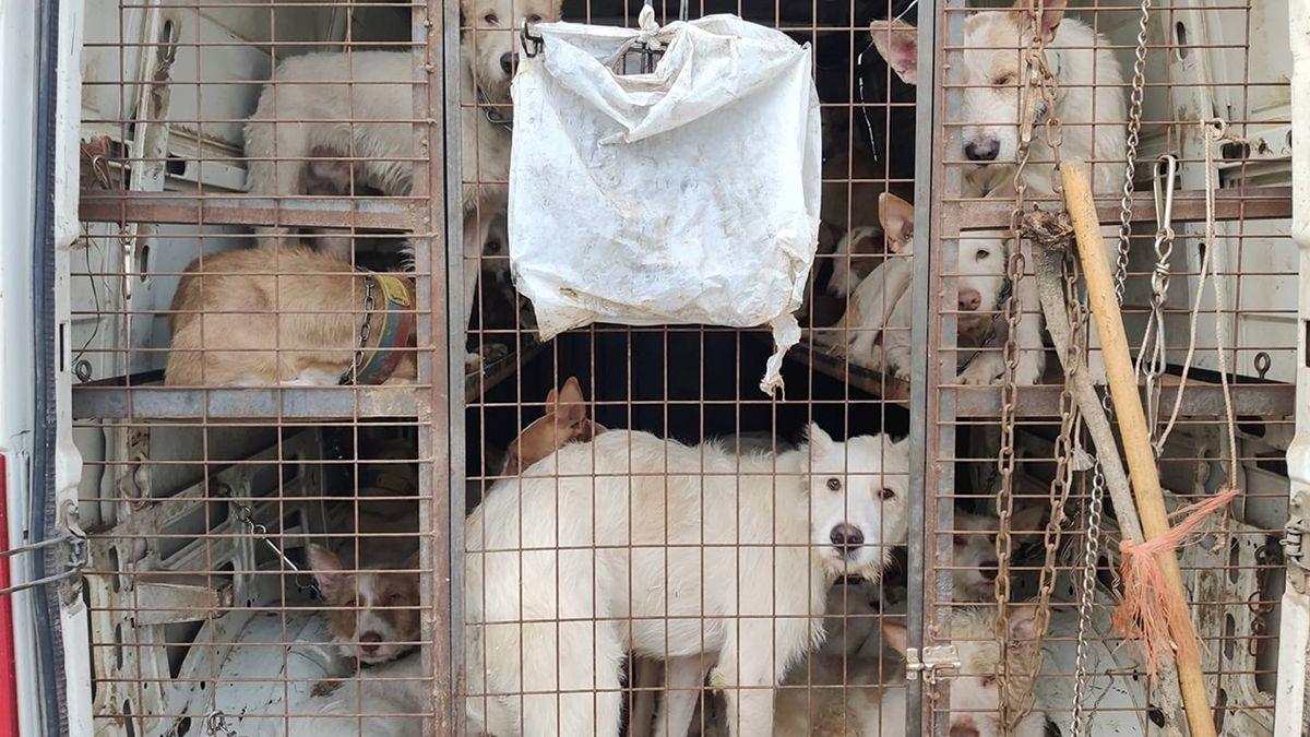 Una rehala de perros de caza.