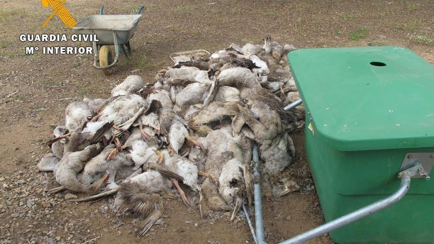 Investigan en Fuente Obejuna al dueño de una explotación ganadera por la muerte de decenas de ocas