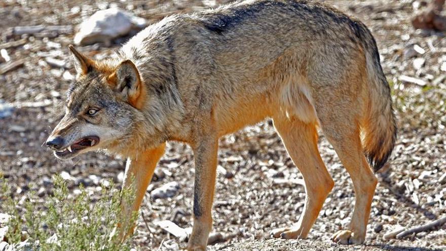 Un lobo hiere de gravedad a un cuidador en Zamora