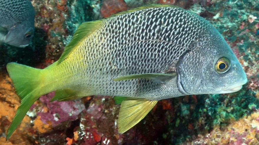 Descubren dos nuevas especies de peces en Galápagos y el Pacífico Este Tropical