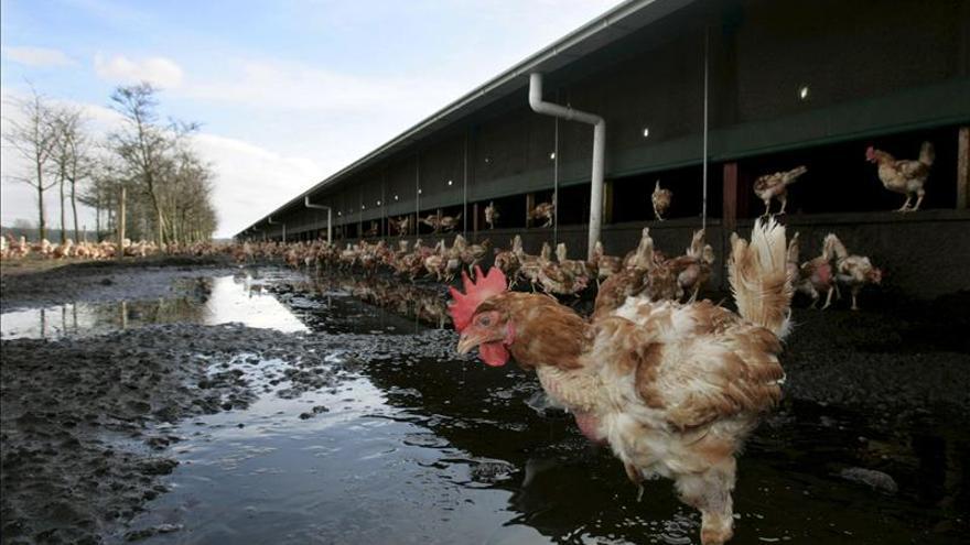 Holanda detecta un tercer caso de gripe aviar en una granja de pollos